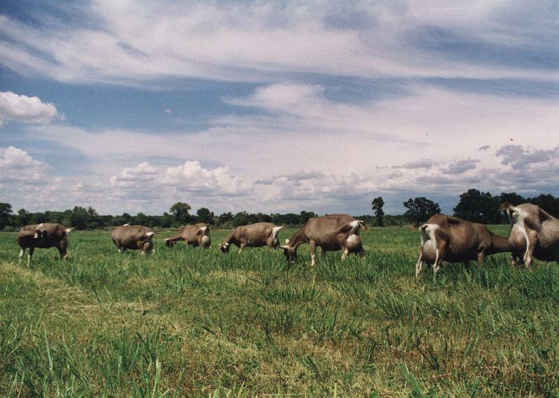 Summer Pasture